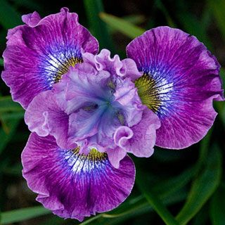 iris siberica strawberry fair