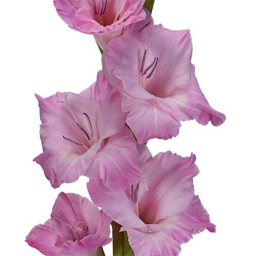 Gladiolus Light Pink Flower Fiftyflowers Com Light Pink Flowers Pink Flowers Gladiolus Flower