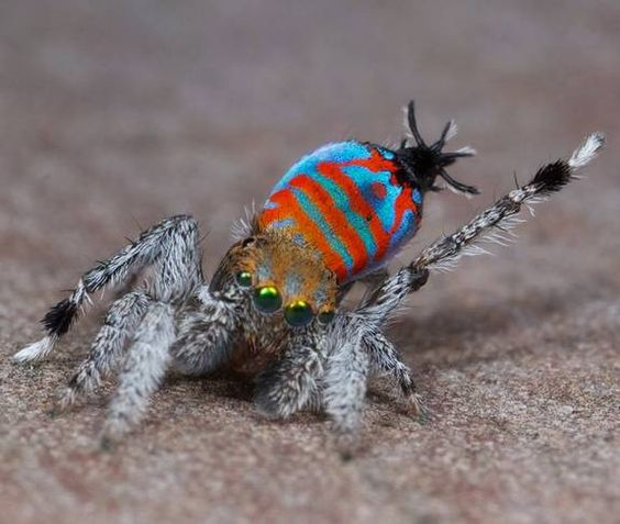 A colorful peacock spider. A male of the peacock spider species Maratus jactatus, which is nicknamed Sparklemuffin, lifts its leg as part of a mating dance.
