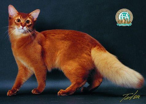 Somali, beautiful red coat,bushy tail,looks somewhat like ...