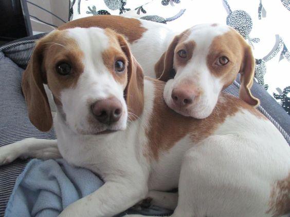 Maymo Penny So Cute 3 Beagle Cutest Dog Ever Beagle Hound