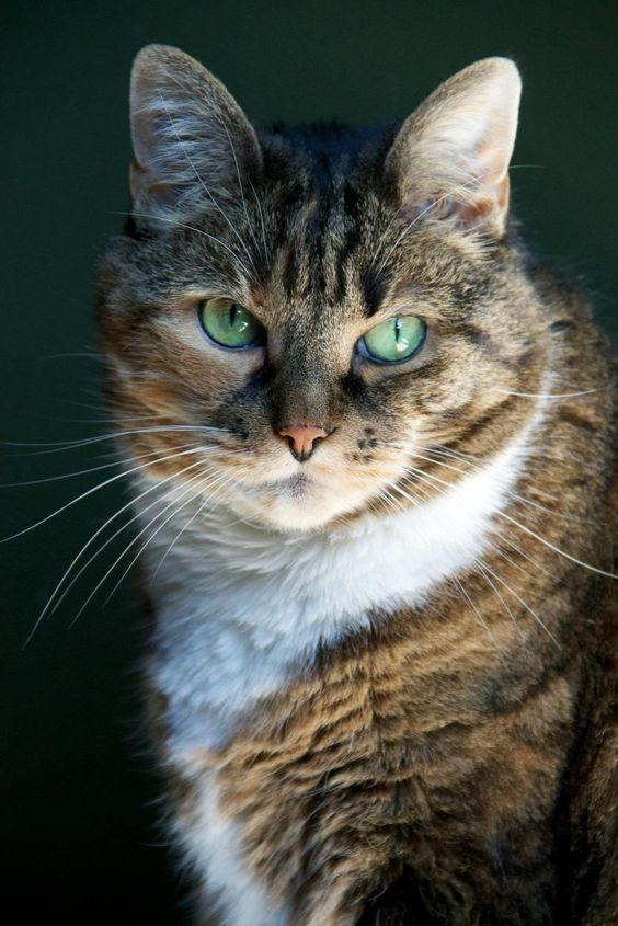Green eyed Tabby Cat: