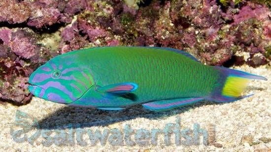 Lunare Wrasse Saltwater Fish Wrasses Wrasse Green Bodies Saltwater Tank