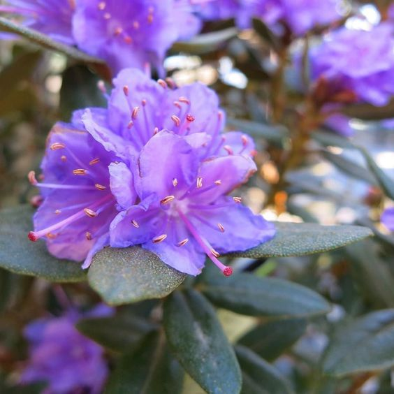 Purple Gem Rhododendron Zone 4 8 Dense Growing Dwarf Evergreen Shrub Valued For Its Large Trusses Of Showy Flowers Showy Flowers Garden Shrubs Rhododendron