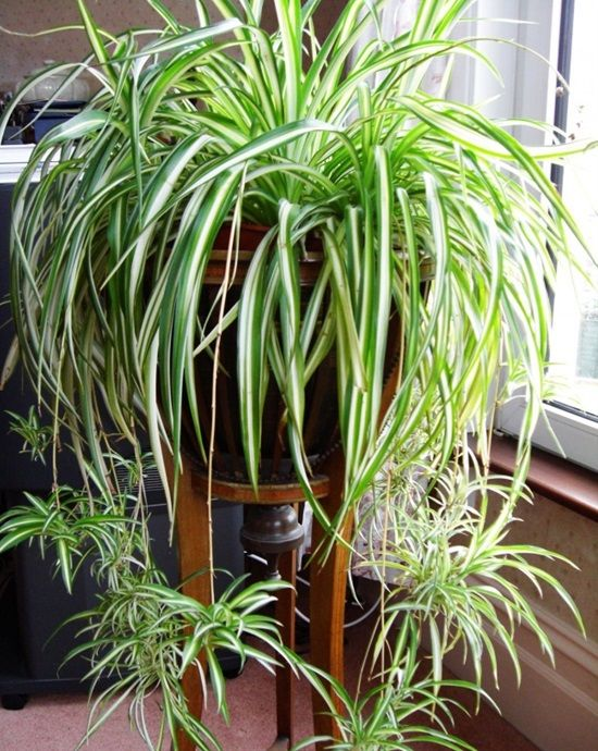 benefits-of-spider-indoor-plant