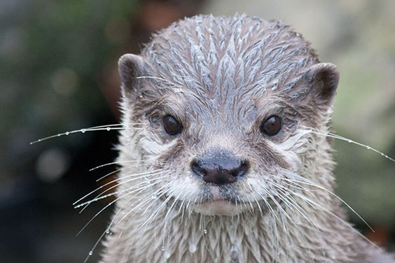 Serious otter