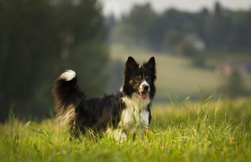 Bordercollie Colliepoint Collie Bordercollies Dog Dogs
