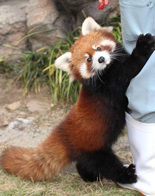 レッサーパンダ飼育員さんが大好きな姿
