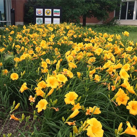 Mass planting of lilies at turnpike stop : wow! #ohio #gardenchat #travel
