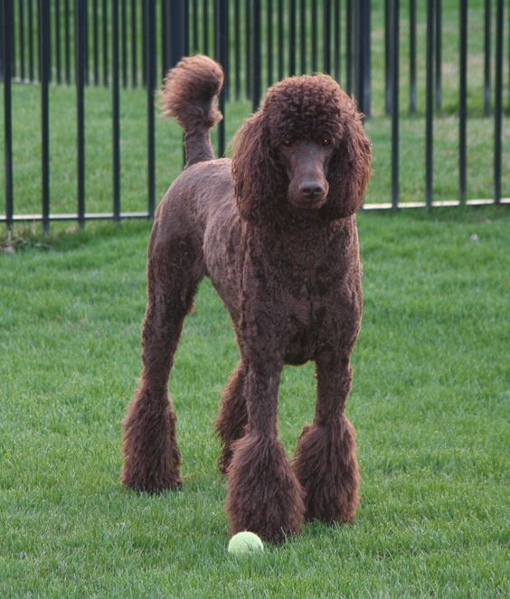 Poodle Weight Geddy-a royal standard...