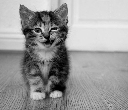 amazing black and white photos | amazing, black and white, cat ...