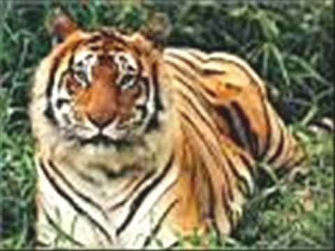 champeta africana el tigre