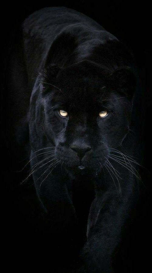 Hd Wallpaper Black Panther Jaguar Animal Panther Cat Black Panther Cat