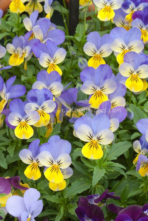 Viola Sorbet Yellow Frost Violets In Spring With Blue And Yellow Flowers Flower Stock Photography Pansies Planting Flowers
