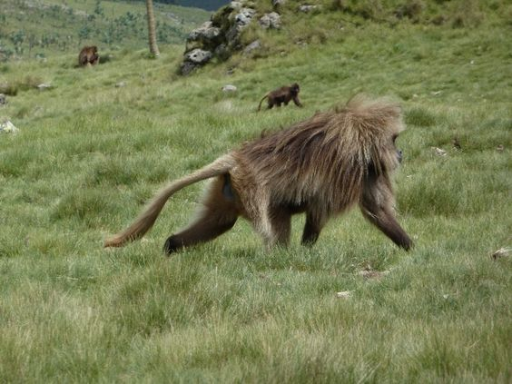 """One of the big males passed by me and I could easily see why the locals call them the """"lion monkeys"""". His mane was very lion-like, and the tuft of the end of his long tail looked exactly like a lion tail tip!"""