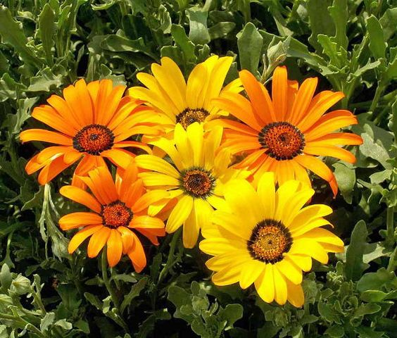 "African Flake Daisy seeds. Brilliant profusion of 3"" daisy-like flowers on 8-16\"" plants. Blooms all summer in vivid shades of butterscotch yellow, orange & white. Self-seeding annual. #growflowers #daisy"