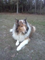 Jada is an adoptable Collie Dog in Pensacola, FL. Jada is a beautiful sable merle Collie. She is 6 years old and weighs 68 pounds. She was returned to rescue after 5 years with a home with another Col...