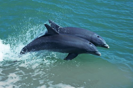 Mother Dolphin and Baby 8 x 16 - TinasFineArts #dolphins #art - marine mammal trainer sample resume