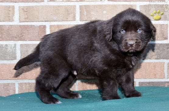Timmy Newfoundland Puppy For Sale In Fresno Oh Lancaster