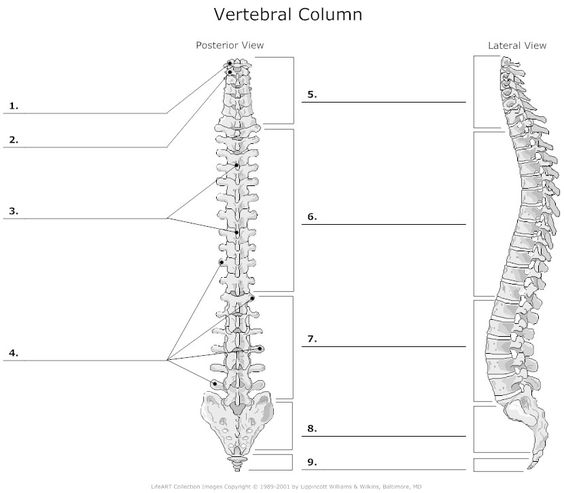 Worksheets Vertebral Column Worksheet vertebral column unlabeled anatomy and physiology pinterest unlabeled