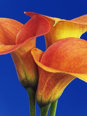 close Calla lilies