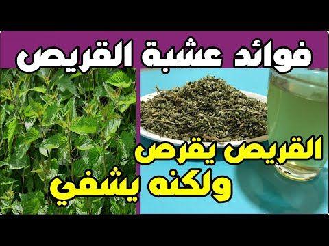 اشربوا منقوع عشبة القراص إذا كنتم تعانون من إحدى هذه المشاكل الصحية القريص يقرص ولكنه يشفي Youtube How To Dry Basil Herbs Plants