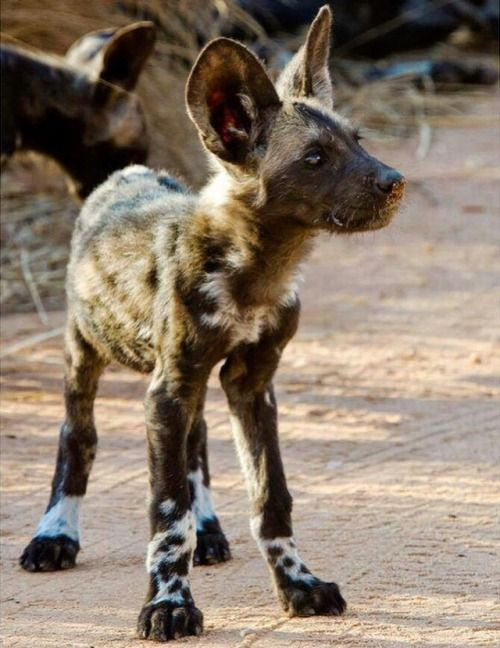 African Wild Dog Lycaon Pictus Puppy In 2020 Cute Animals Wild Dogs African Wild Dog