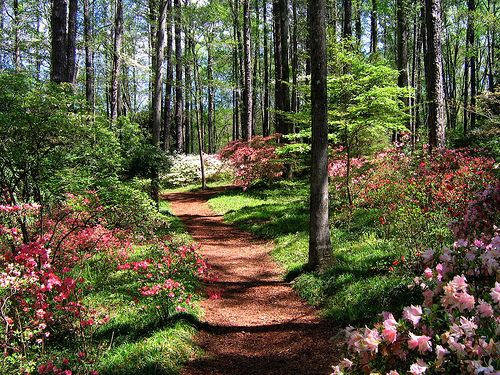 Planting Under Pine Trees : Plants that like acid and shade for under the pine trees