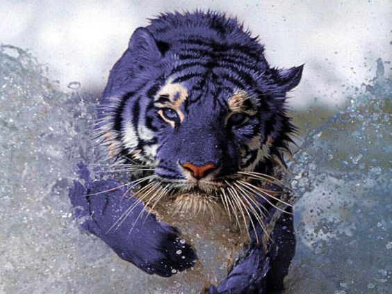 """The Maltese tiger, or blue tiger, is a semi-hypothetical coloration morph of a tiger, reported mostly in the Fujian Province of China. It is said to have bluish fur with dark grey stripes. Most of the Maltese tigers reported have been of the South Chinese subspecies. The South Chinese tiger today is critically endangered, and the """"blue"""" alleles may be wholly extinct. Blue tigers have also been reported in Korea, home of Siberian tigers.    (artists impression)"""
