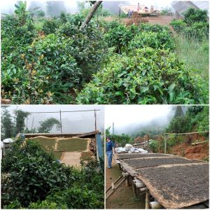 The process of tea - plants, and drying leaves - in an Akha village outside Jinghong in Xishuangbanna, Yunnan province. 云南省西双版纳, 景洪外的一个小山村