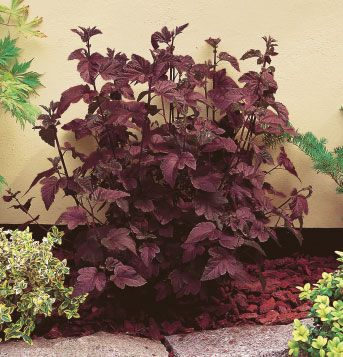 Jardin jasmin physocarpus op diabolo h 1 5 2 5 l 1 5arbuste tr s spectaculaire au feuillage for Comarbuste a feuille rouge