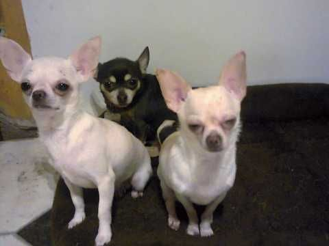 Pin On Chihuahuahs