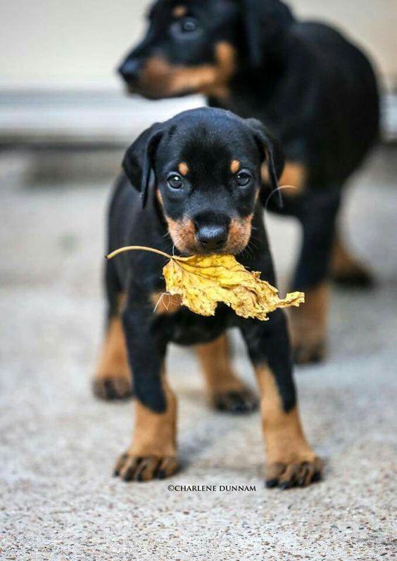 #Doberman pups