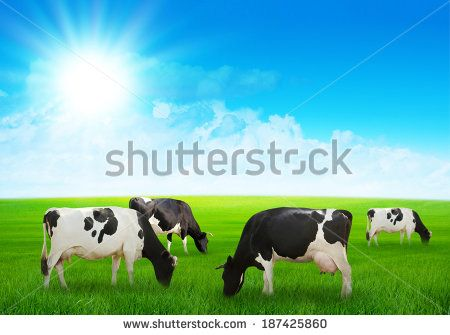 Several cows graze on the green meadow