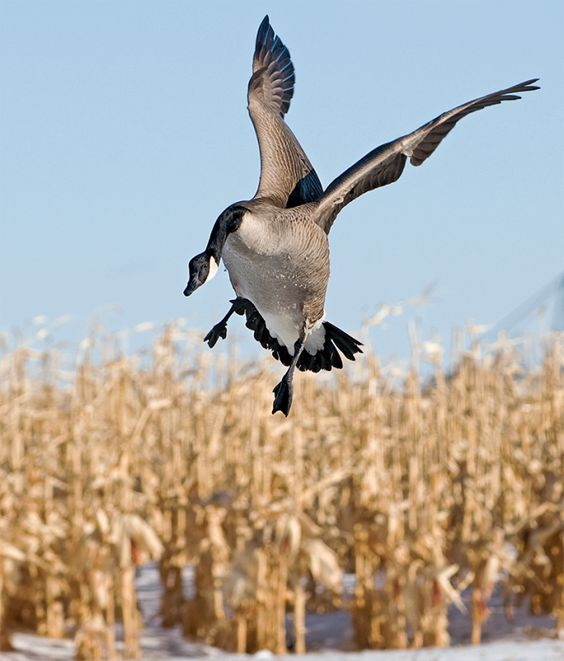 Canada Goose' official journal of the european