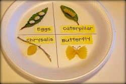 Lesson plan about the life cycle of a butterfly using noodles and beans. Dap incorporating insect life cycle. Creative way to visually show the change that a butterfly makes.