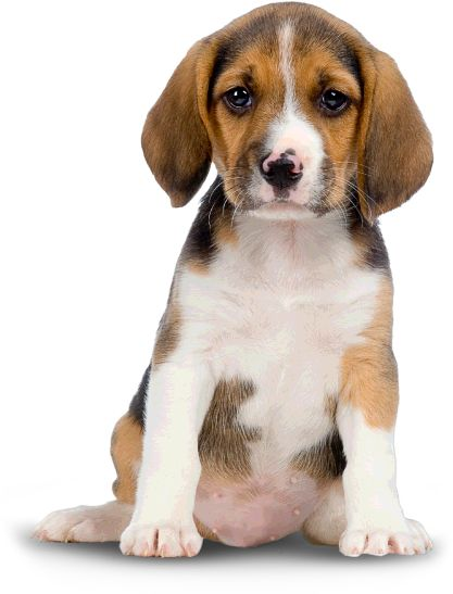 Beagle mix puppies puppy dog puppies for sale pets padded transparent