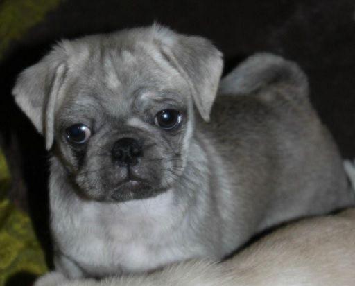 Cute Silver Pug Puppy Seriously Love Him Puppies Black Pug
