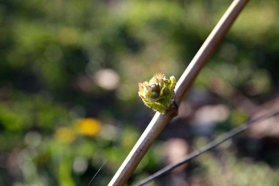 Am #Wochenende wird es schon reichlich mehr #grün im #Weinberg geben ... http://blog.evinum.de/von-steckenpferden-und-filetstuecken/…