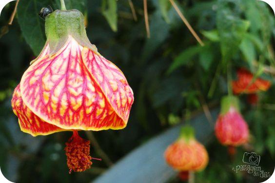 Lanterna chinesa - Abutilon striatum