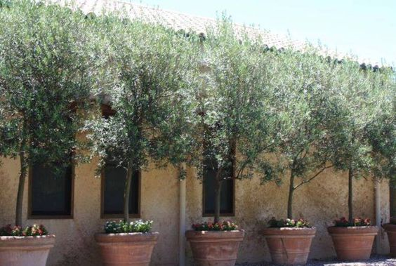 Landscaping And Outdoor Building , Options Of Tuscan Landscape Design Plants : Potted Olive Trees Tuscan Landscape Design Plants