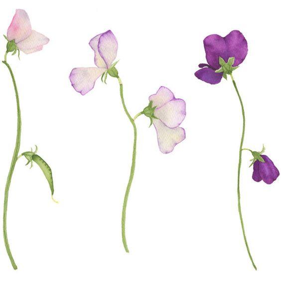 watercolor sweet pea flowers original botanical painting fine art