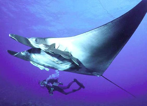 Beautiful manta ray with a diver