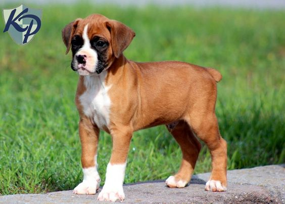 Rottweiler Boxer Mix Puppies Boxer Mix Puppies Boxer Puppies Puppy Dog Pictures