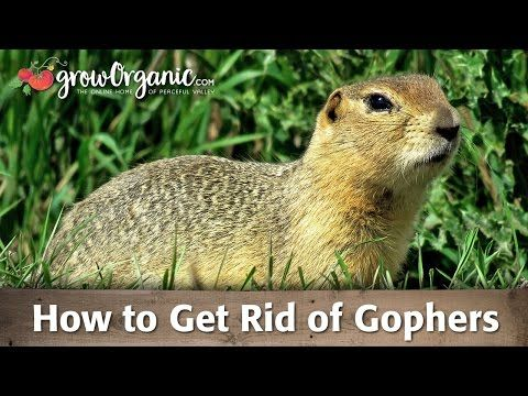How To Get Rid Of Gophers Youtube Getting Rid Of Gophers