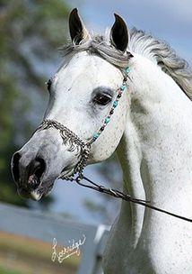 Halim Shahza Bey - 2003 grey mare Sire: Orfan Bey (Ansata Halim Shah x *Imperial Sayyah) Dam: Baakarah (Ibn Morafic++ x Batalah by The Minstril)