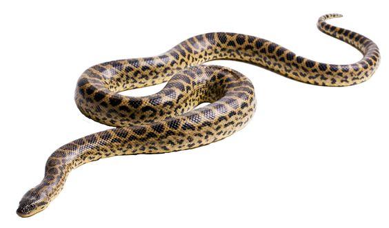 Free Photoshop Resources Snake Free Photoshop Resources Anaconda Photoshop Resources