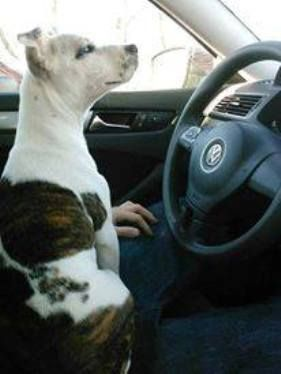 Puppy Doe (Kiya) loved to go for car rides. Story: http://www.examiner.com/article/puppy-doe-update-her-name-was-kiya