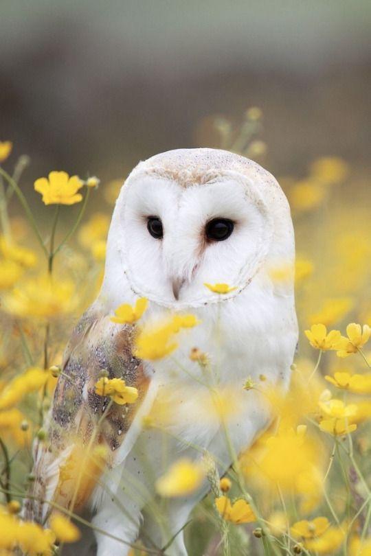 Pin By Lyudmila Plis On Gryffinpuff Barn Owl Owl Owl Wallpaper