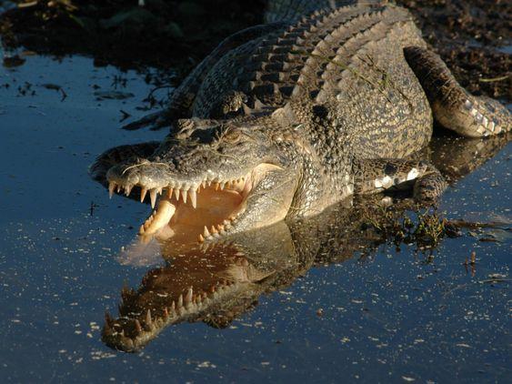 Crocodile - Google Search